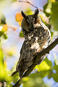 Long-eared Owl (Asio otus) at rest, Alsace, France