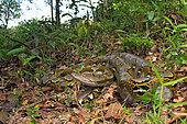 Reticulated python (Malayopython reticulatus), Belitung, Indonesia. It is the longest snake in the world.