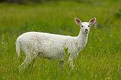 White white-tailed deer (Odocoileus virginianus), leucistic doe, New York, USA