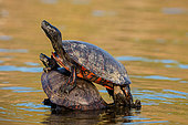 Northern red-bellied turtle or redbellied cooter, (Pseudemys rubriventris), Maryland, USA