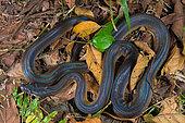 White lipped Python (Leiopython albertisii) on ground