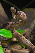Mock viper (Psammodynastes pulverulentus), Amurang, North Sulawesi, Indonesia