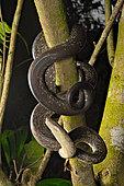 Macklot's python (Liasis mackloti) in a tree