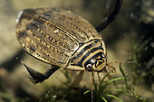 Lesser Diving Beetle (Acilius sulcatus) female in a pond, Prairies du Fouzon, Loir-et-Cher, France