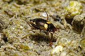 Diving beetle (Hydroporus palustris) in a pond, Prairies du Fouzon, Loir-et-Cher, France