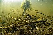 Pool Frog (Pelophylax lessonae), in a pond, Prairies du Fouzon, Loir-et-Cher, France
