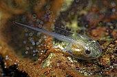 Tree frog tadpole (Hyla arborea) in a pond, Prairies du Fouzon, Loir-et-Cher, France