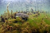 Wels catfish (Silurus glanis), Le Cher River, Loir-et-Cher, France