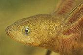 Northern Crested Newt larva (Triturus cristatus) in a pond, Prairies du Fouzon, Loir-et-Cher, France