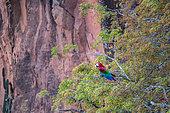Red-and-green Macaw, (Ara chloropterus), Buraco das Araras, Bonito, Mato Grosso do Sul, Brazil