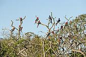 Red-and-green Macaw (Ara chloropterus) and Arara jacinto (Anodorhynchus, hyacinthinus), Buraco das Araras, Bonito, Mato Grosso do Sul, Brazil
