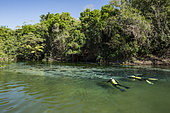 Franco and buddy are snorkeling in search of fish in the Rio Sucuri, Bonito, Mato Grosso do Sul, Brazil