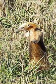 Southern Anteater (Tamandua tetradactyla) standing, Formoso River, Bonito, Mato Grosso do Sul, Brazil