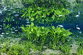 Underwater plants reflecting to the surface at the Nascente Azul, Bonito, Mato Grosso do Sul, Brazil