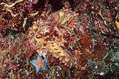 Pieuvre géante du Pacifique (Enteroctopus dofleini) camouflée sur le fond marin, mer du Japon, kraï du Primorié, Russie