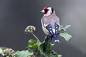 Goldfinch (Carduelis carduelis) on Ivy in winter, Country Garden, Lorraine, France