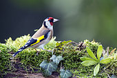 Goldfinch (Carduelis carduelis) on a mossy stump in winter, Country Garden, Lorraine, France