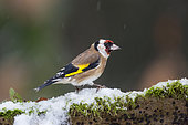 Goldfinch (Carduelis carduelis) on a stump in winter, Country Garden, Lorraine, France