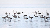 Greater Flamingo (Phoenicopterus roseus) juveniles wintering in autumn, Lake Kerkini, Greece