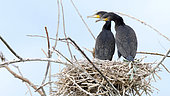 Great Cormorants (Phalacrocorax carbo) young at nest, Lake Kerkini, Central Macedonia, Greece