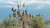 Great Cormorants (Phalacrocorax carbo) on their nest in a dead tree, Lake Kerkini, Central Macedonia, Greece