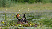 Great Crested Grebe (Podiceps cristatus) grooming on his nest in spring, Lake Kerkini, Greece