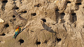 European Bee-eater (Merops apiaster) and Sand Martin (Riparia riparia) in front of a sand cliff in the spring, Lake Kerkini, Greece