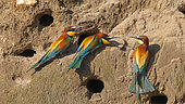 European Bee-eater (Merops apiaster) on a sand cliff in the spring, Lake Kerkini, Greece