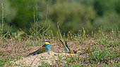 European Bee-eater (Merops apiaster) couple digging their nest in the sand in the spring, Lake Kerkini, Greece