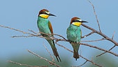 European Bee-eater (Merops apiaster) couple on a branch in the spring, Lake Kerkini, Greece