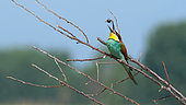 European Bee-eater (Merops apiaster) returning prey before swallowing on a branch in the spring, Lake Kerkini, Greece