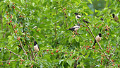 Rosy Starlings (Pastor roseus) in a mulberry during the migration, Kerkini, Greece