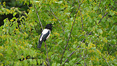 Rosy Starling (Pastor roseus) singing in a mulberry during the migration, Kerkini, Greece