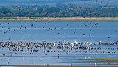 Birds wintering in autumn, Lake Kerkini, Greece