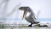 Dalmatian Pelican (Pelecanus crispus) landing on a floating wood in spring, Lake Kerkini, Greece