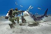 Shark feeding, diver feeding Tiger Shark (Galeocerdo cuvier), Bahamas, Central America