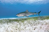 Tiger Shark (Galeocerdo cuvier) over sandy soil with seaweed, Bahamas, Central America