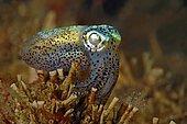 Hummingbird bobtail squid (Euprymna berryi), Sabang Beach, Mindoro, Philippines, Asia