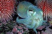 Dwarf Fish Type or Sepiola (Rossia macrosoma) between sea urchins, mountains, Hordaland, Norway, Europe