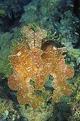 Broadclub Cuttlefish (Sepia latimanus), animal portrait, Rabaul, Papua New Guinea, Oceania