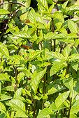 Basilic 'Cannelle' / Ocimum basilicum 'Cinnamon'