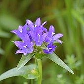 Clustered Bellflower (Campanula glomerata) flowers, Savoie, France