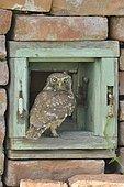 Little Owl (Athene noctua) posed on an old window, Danube Delta, Romania