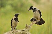 Hooded Crows (Corvus corone cornix) pair on a branch, Danube Delta, Romania