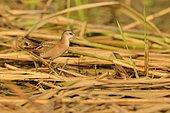 Little Crake (Porzana parva) on reeds, Danube Delta, Romania