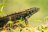 Great crested newt (Triturus cristatus) male, Meurthe-et-Moselle, France