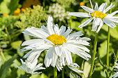 Leucanthemum superbum 'Crazy Daisy'