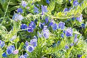Echium vulgare 'Blue Bedder'