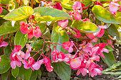 Begonia semperflorens 'Dragon Wing Red'