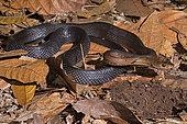 Sulawesi Ratsnake (Coelognathus erythrurus celebensis)